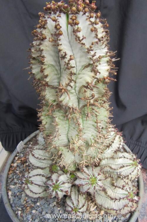 "Euphorbia polygona ""snowflake"""