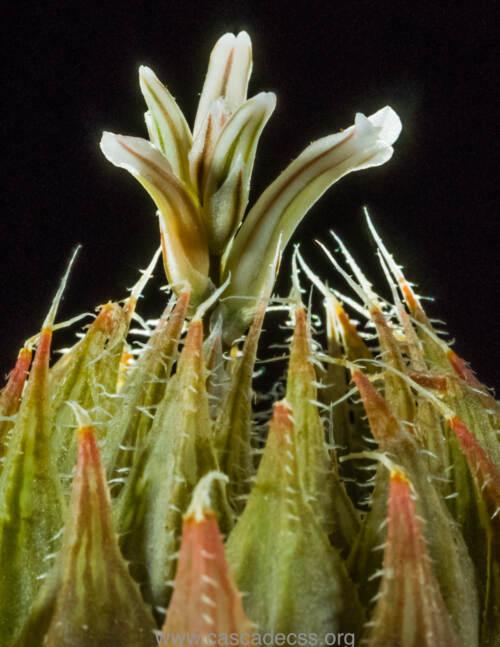 Haworthia arachnoidea, Alan Kamil