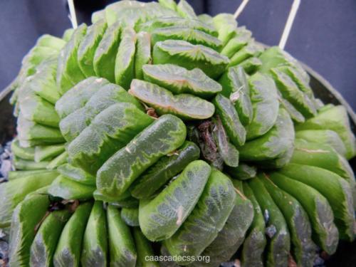 "Haworthia truncata ""Lime Green'"