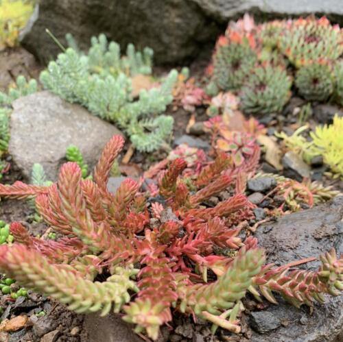 Sedum ochroleucum 'Red Wiggle