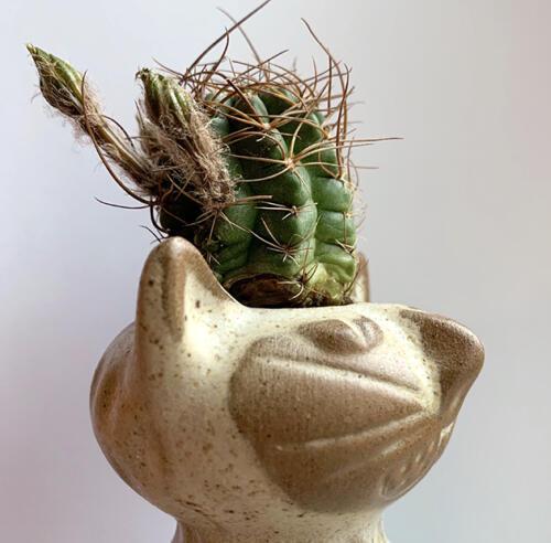 Echinopsis wrightiana